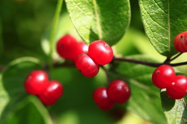 食べられる赤い実、食べられない赤い実